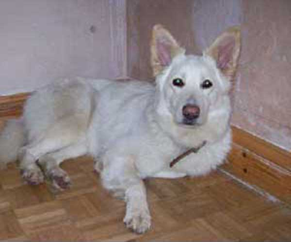 charlie pretty white gsd girl