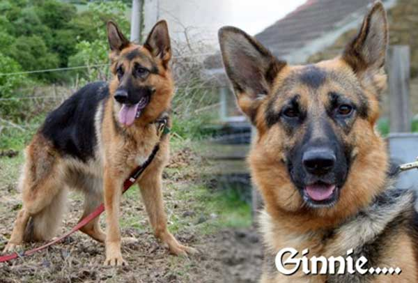 ginnie lovely young female gsd