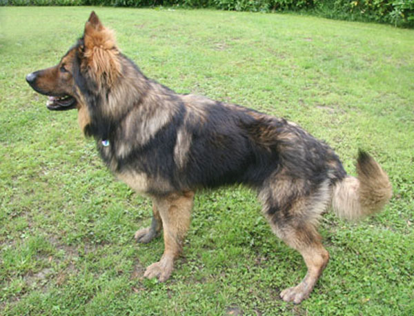 max sable gsd