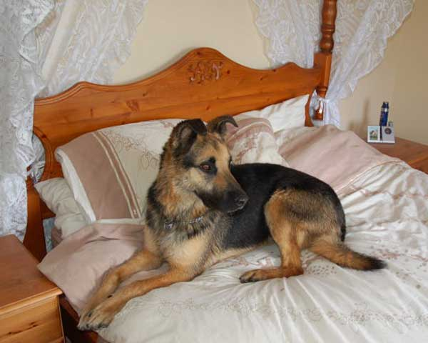 bruno the gsd lying on a 4 poster bed