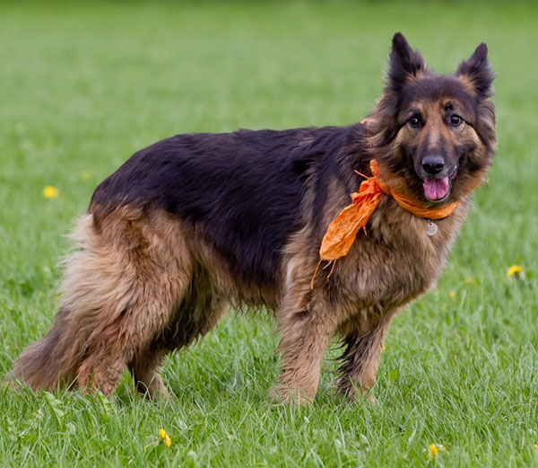 german shepherd wearing a bandana