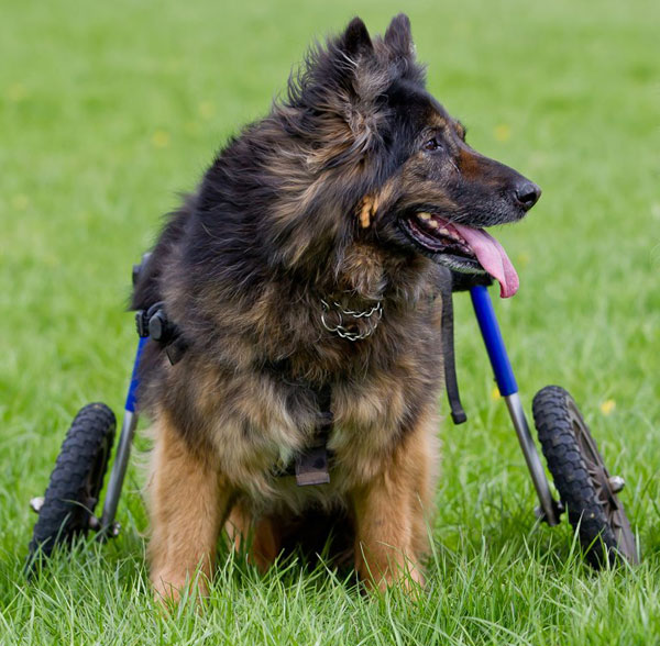 older german shepherd dog on wheels