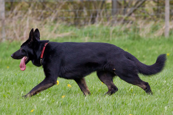 black german shepherds running