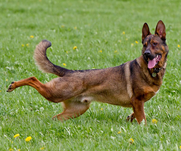 german shepherd kicking his leg back