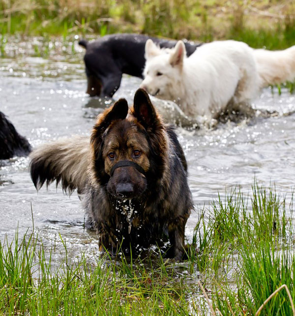 german shepherds playing in a pond