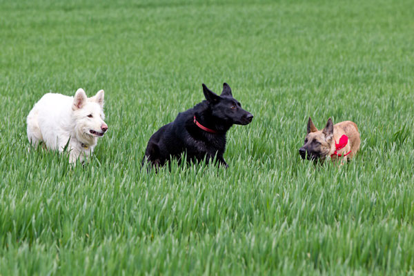 three german shepherds playing