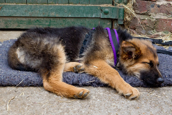 german shepherd puppy asleep