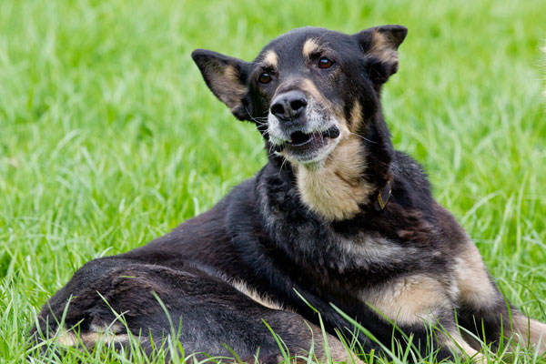 older german shepherd dog