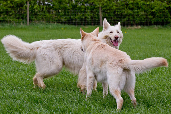 two white german shepherds playing