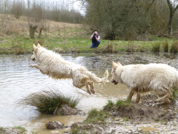 two white german shepherds playing in a pond