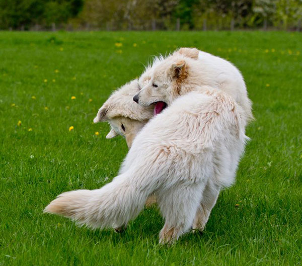 twp white german shepherd enjoying playing