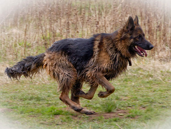 great picture of a german shepherd running