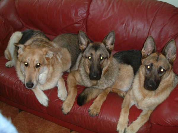three lovely german shepherds sitting on the sofa