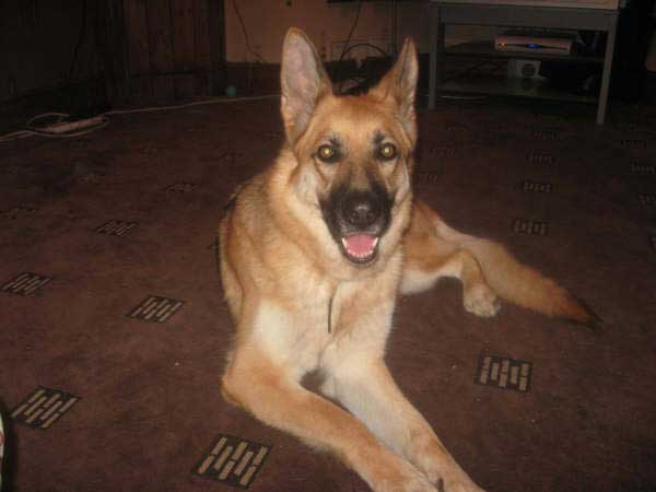 honey the gsd
