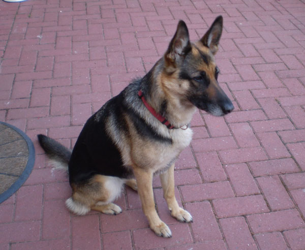 maggie the cruelly treated GSD