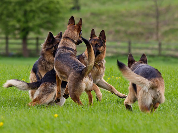 north east german shepherd walk group