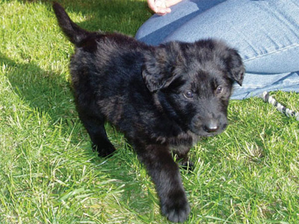 gsd cross puppy