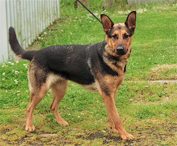 German Shepherd Rescue Dogs That Have Been Rehomed By Us