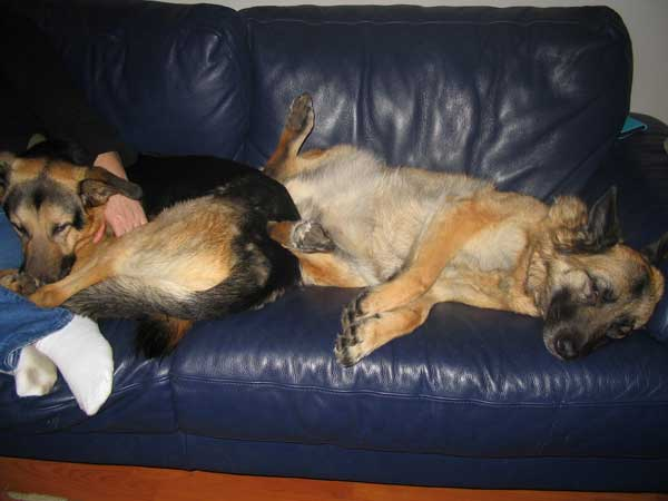 spider and mara the gsd's having a snooze on the sofa