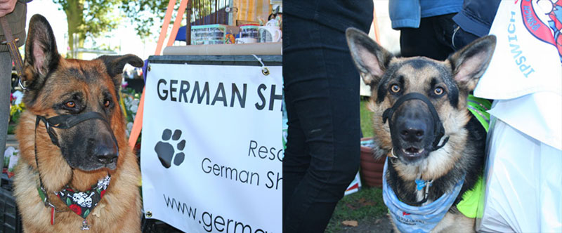 2 german sheoherd dogs on the GSDR stand
