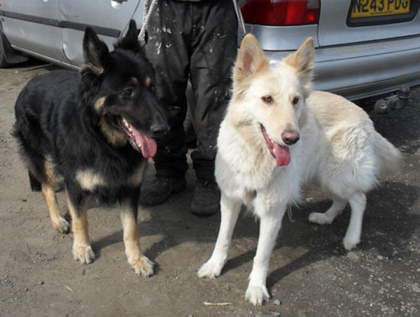 tammy and kita gsd's
