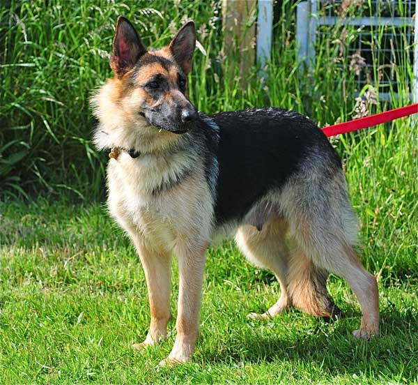 tyra young gsd that was pregnant
